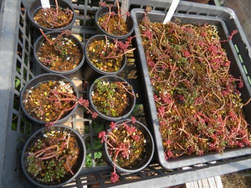 ピレア・セルフィラセア・グロボーサ(Pilea serpyllacea globosa)露鏡~まだ赤く紅葉中♪2020.05.05
