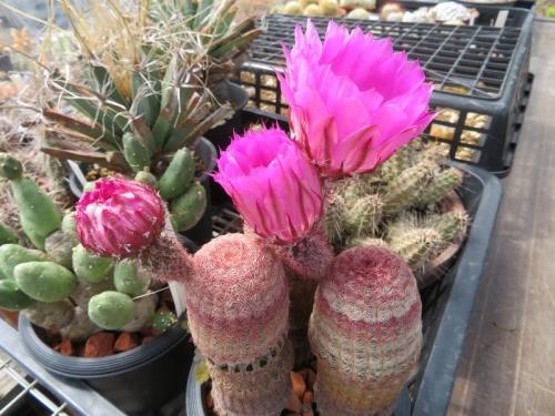 エキノケレウス・太陽((Echinocereus rigidissimus)同時開花して欲しい3本仕立て♪2020.06.15