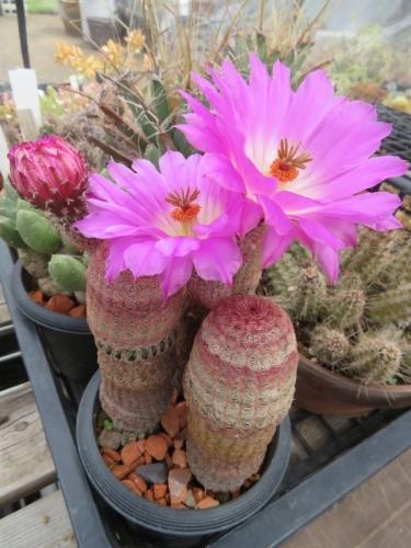 エキノケレウス・太陽((Echinocereus rigidissimus)2花同時開花♪一つは縮れて開きません。2020.06.15