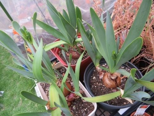 キルタンサス・オブリクス(Cyrtanthus obliquus)、ジャイアントキルタンサス南アフリカ、ケープ州原産2020.06.16