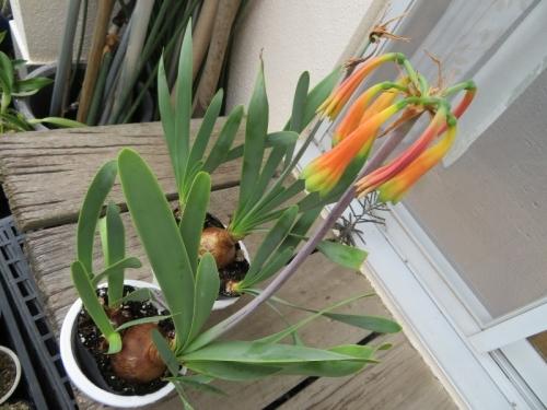 キルタンサス・オブリクス(Cyrtanthus obliquus)、ジャイアントキルタンサス南アフリカ、ケープ州原産、花終わりの姿~2019.07.21