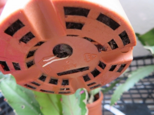 プセウドリプサリス・アマゾニカ(Pseudorhipsalis amazonica)挿し木苗(2020.05.14)発根しています。2020.06.18