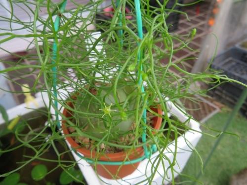 ボウィエア・ボルビリス(蒼角殿)(Bowiea volubilis)、クライミングオニオン~花と蕾♪2020.06.20