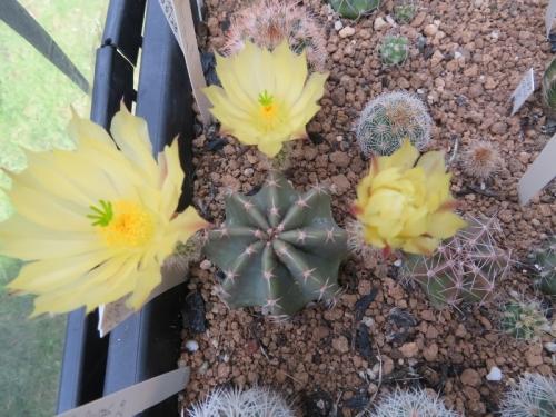 エキノケレウス・大仏殿実生3年目で開花しました。、他エキノケレウス実生苗いろいろ2020.06.21