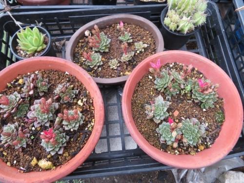 タキタス・ベルス(Tacitus bellus=Graptopetalum bellum)、梅雨桜、無茎、分頭で増えるタイプ2020.06.22