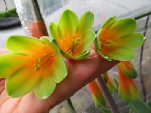 キルタンサス・オブリクス(Cyrtanthus obliquus)、ジャイアントキルタンサス南アフリカ、ケープ州原産、花の中♪2020.06.22