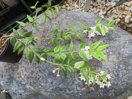 ホヤ・ベラ(Hoya bella)亜熱帯アジア(インド、ネパール、ミャンマー)原産、下向きに開花2020.06.25