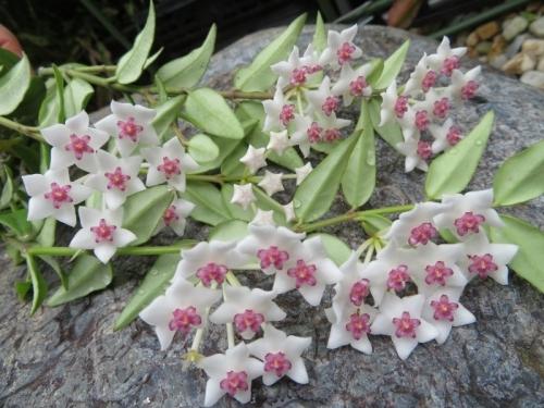 ホヤ・ベラ(Hoya bella)亜熱帯アジア(インド、ネパール、ミャンマー)原産、葉を裏返すと美花♪2020.06.25