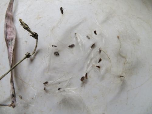 セロペギア・シモネアエ(Ceropegia simoneae)マダガスカル南部テゥリアラ~昨年11月にできた種鞘がようやく弾けました♪2020.06.26