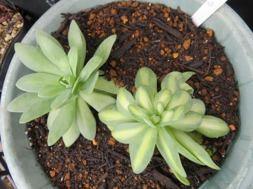 オロスタキス・鳳凰の群生株挿し木生き残り苗を培養土に鉢上げしました。また子吹いてくるはず~2020.06.24