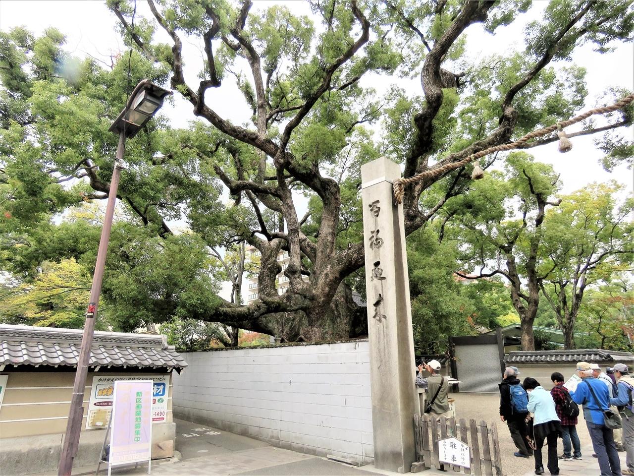 s-杭全神社クスノキ 191111