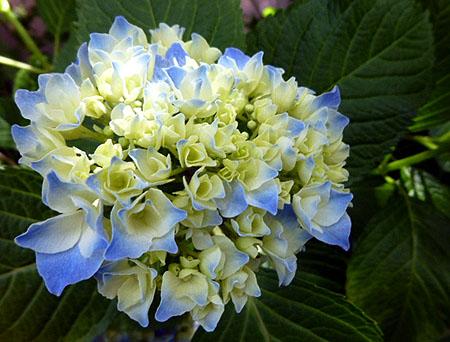 0605紫陽花