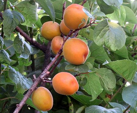 0611杏子