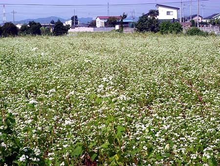 0917蕎麦畑