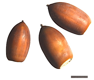 マテバシイのドングリ
