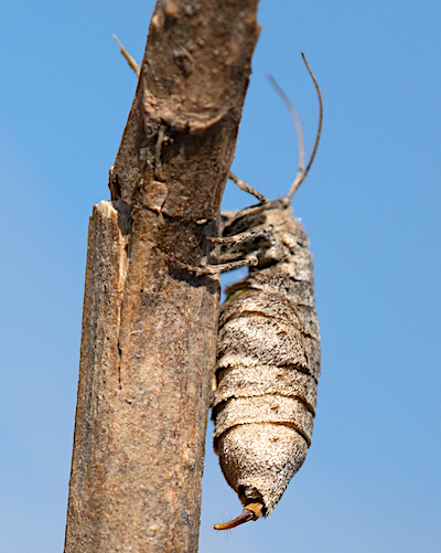 フチグロトゲエダシャクのメス
