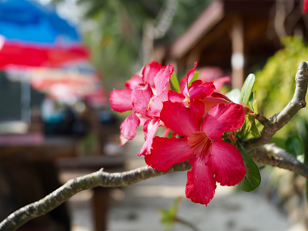 プーケット旅行記 その3 Praise Pearl Bungalow 夕焼けロングビーチ 花