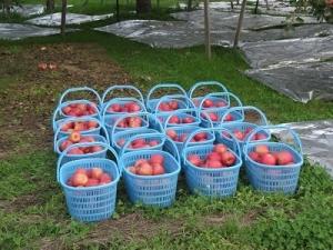 191010りんご収穫