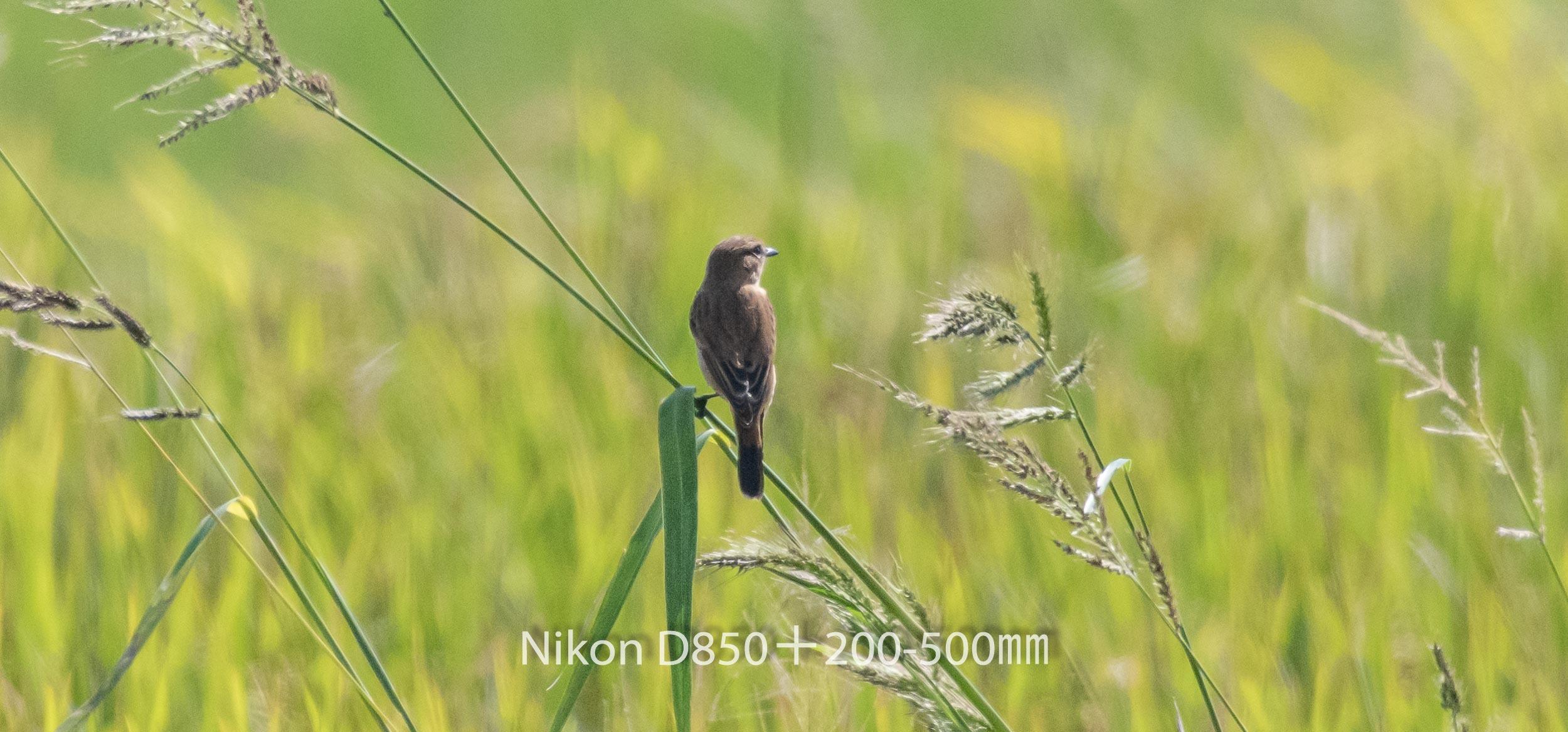 191005 ノビタキ-01 NIKON D850 ISO 1250 500 mm 2488 x 1161