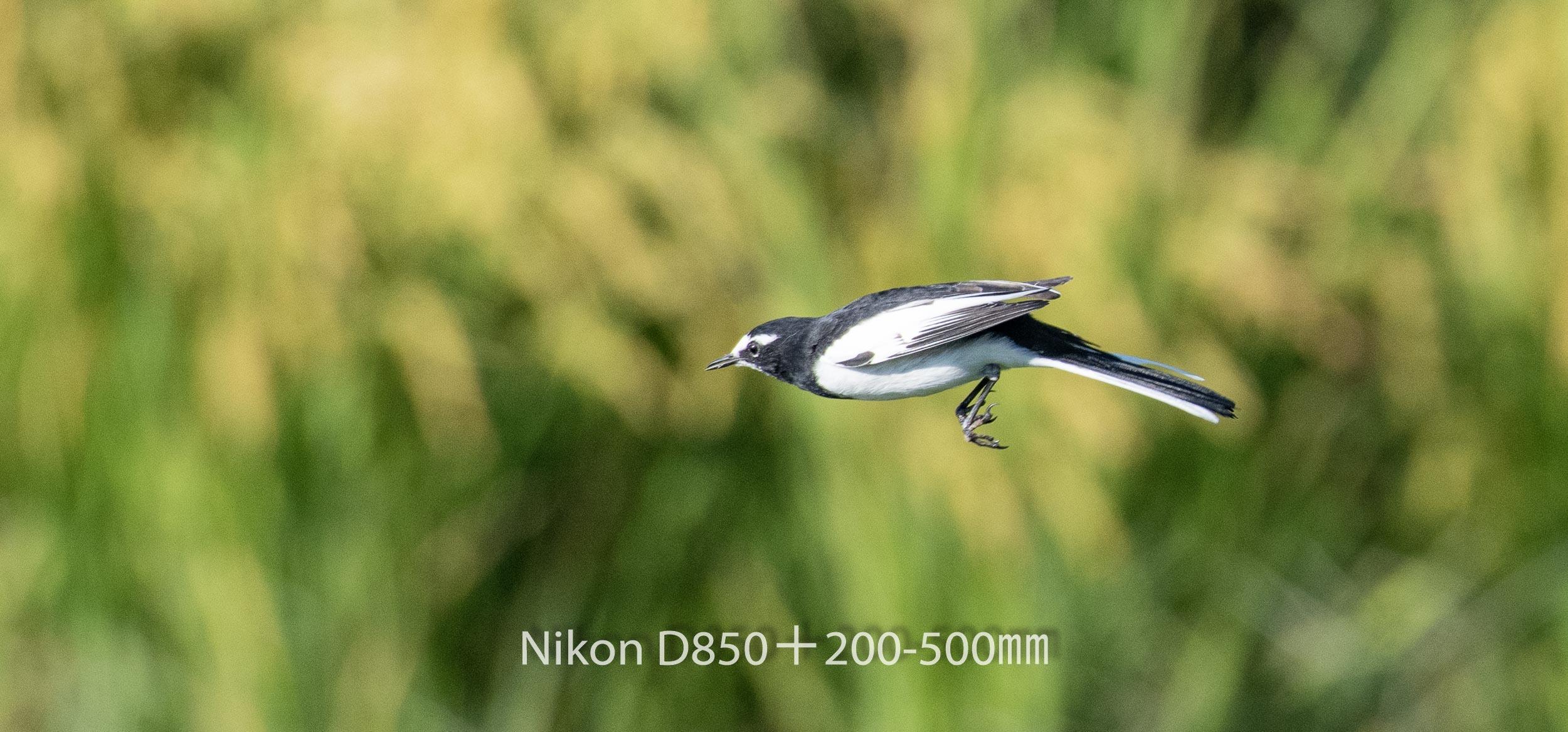 191005 ハクセキレイ-04 NIKON D850 ISO 720 500 mm 3078 x 1436