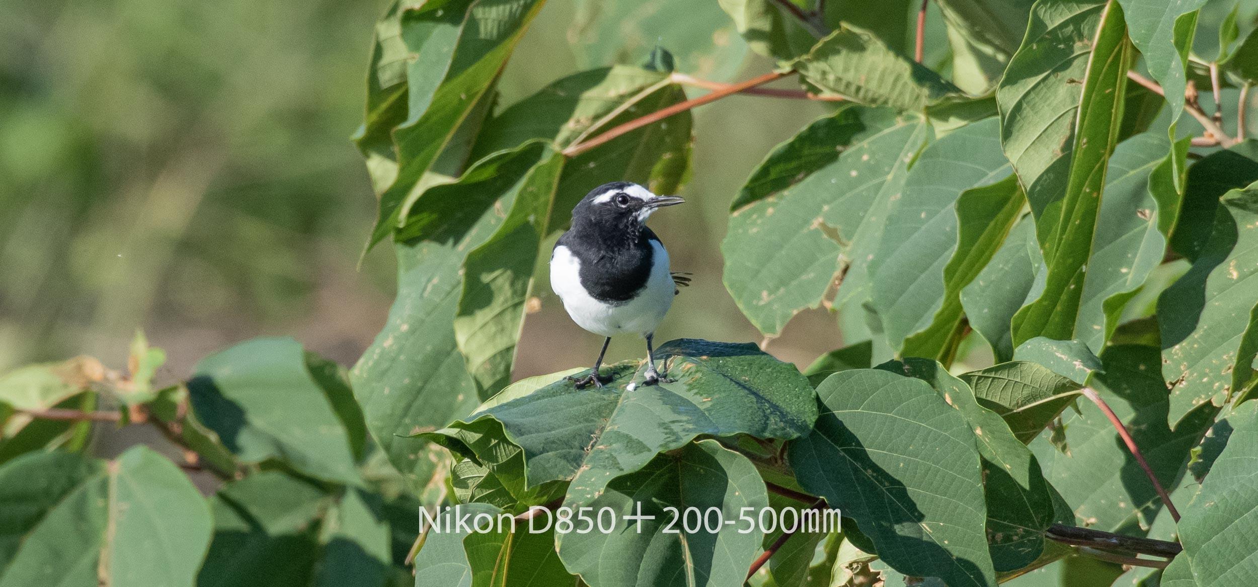 191005 ハクセキレイ-06 NIKON D850 ISO 1000 500 mm 2816 x 1314