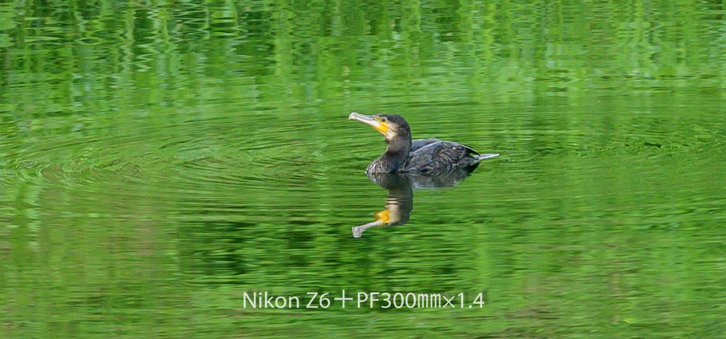 191007 カワウ-01 NIKON Z 6 ISO 720 420 mm 1385 x 646