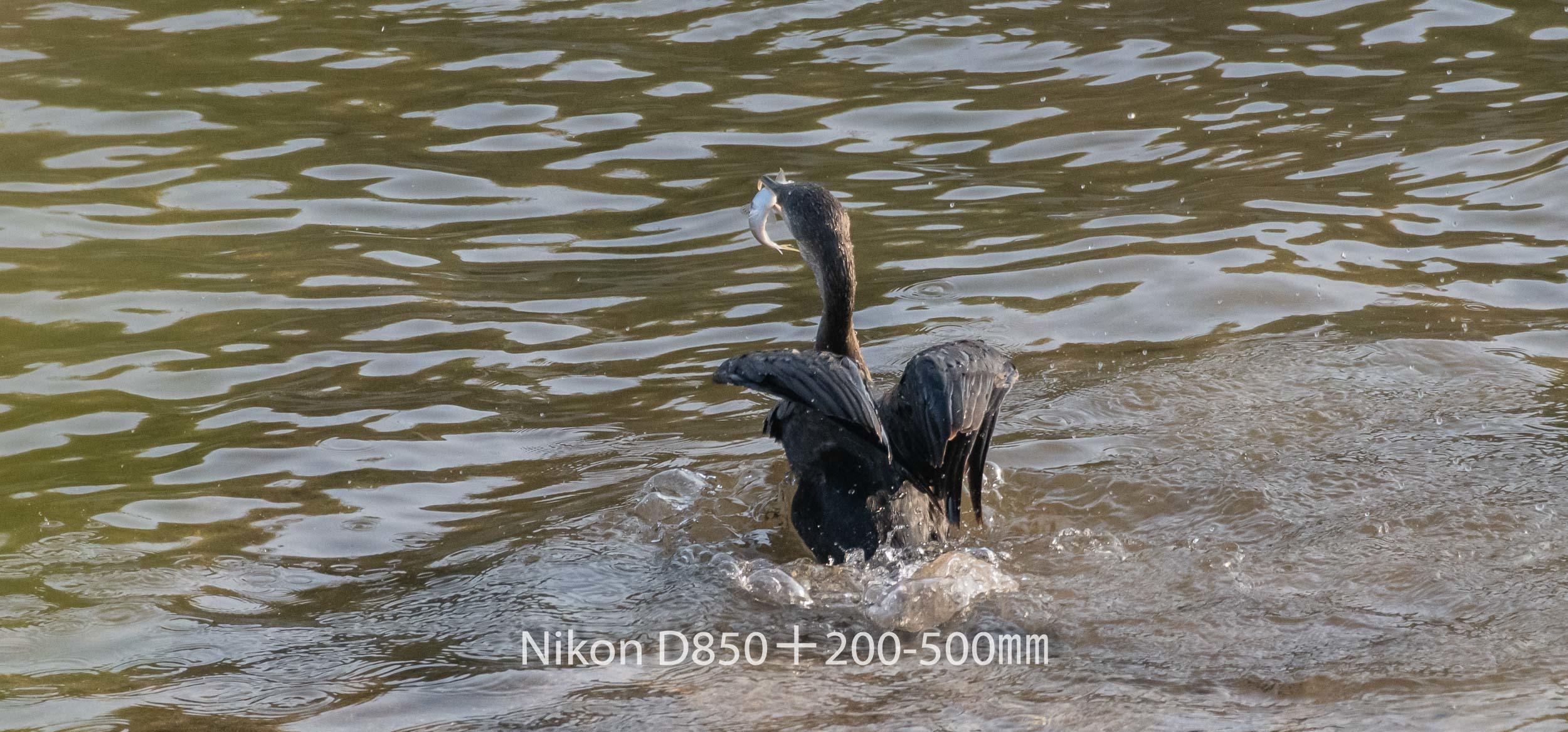 191007 カワウ-01 NIKON D850 ISO 1800 500 mm 3677 x 1716