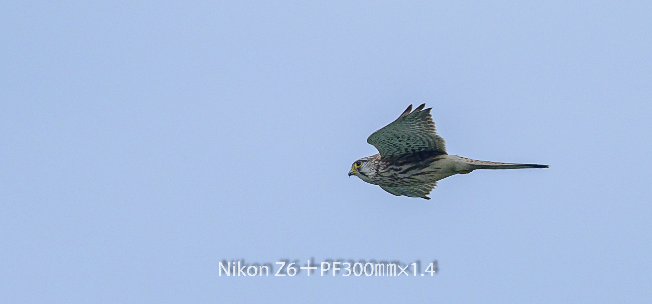 191008 チョウゲンボウ-15 NIKON Z 6 ISO 360 420 mm 1980 x 924
