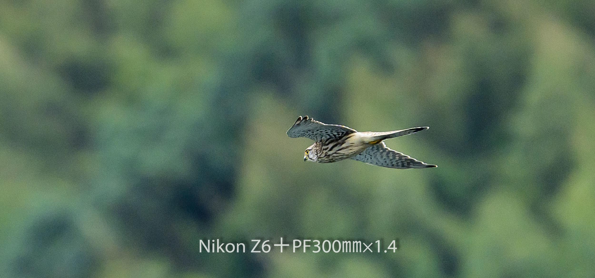 191008 チョウゲンボウ-19 NIKON Z 6 ISO 400 420 mm 2007 x 936