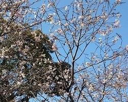 飛鳥山公園冬桜