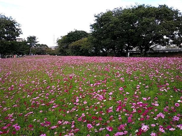 3 武庫川コスモス園