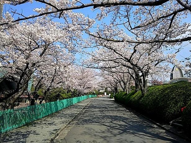 1 弁天さんの桜