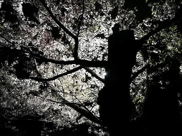 2 たまたま見た夜桜
