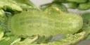 e-コツバメK1-3齢8mm-2020-06-01-Tg512445