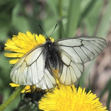 f-ヒメウスバシロチョウ♂A-2020-05-19飼育-P5190138