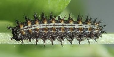 f-ミドリヒョウモン幼虫7mm-2020-05-28-Tg582348