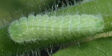 f-オナガシジミ幼虫10mm-2020-06-06jg-Tg562524