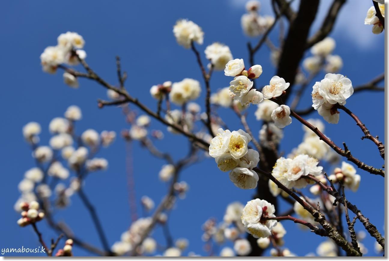 花畑園芸公園(2020)冬の青空 白梅の花 1