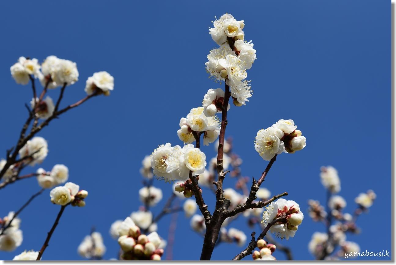 花畑園芸公園(2020)冬の青空 白梅の花 2