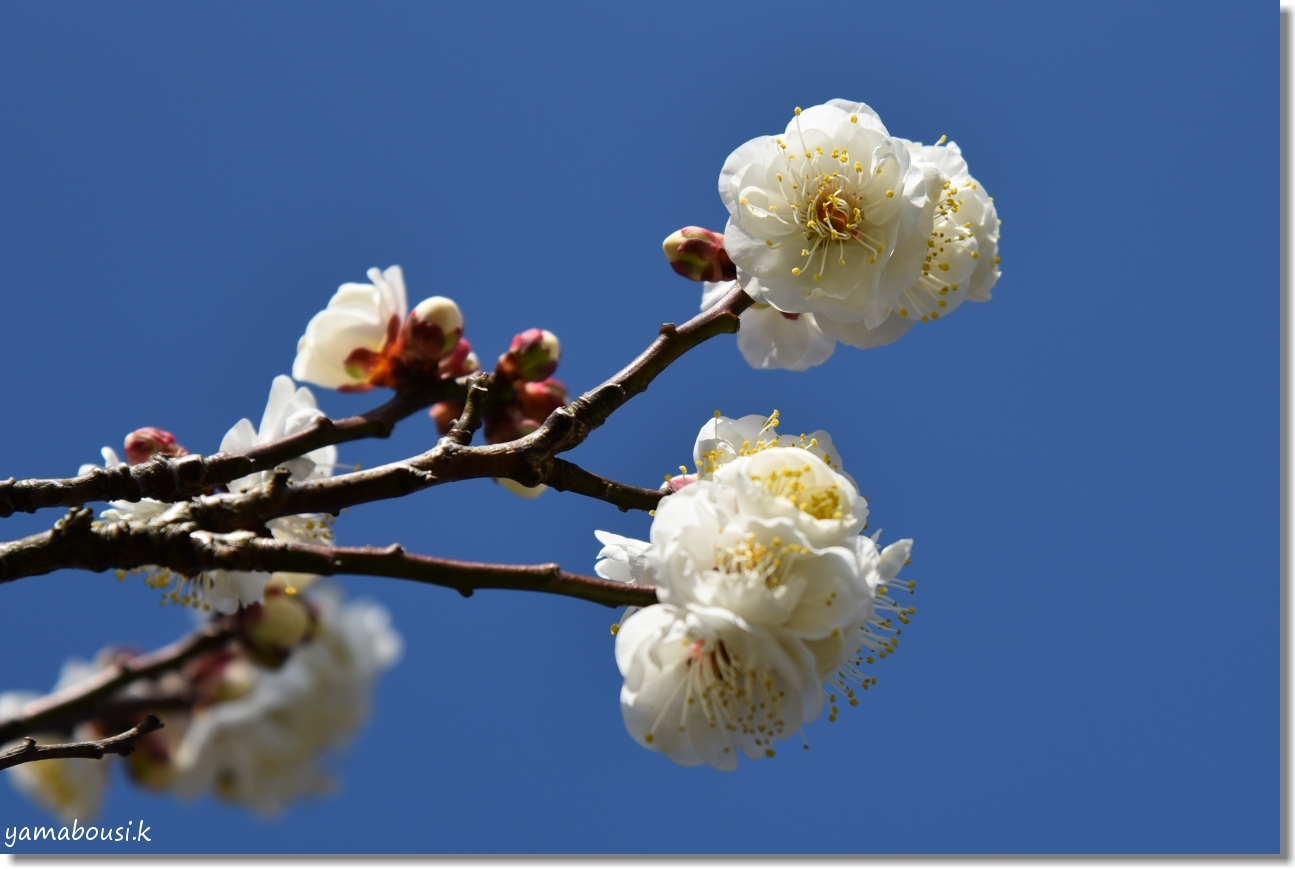 花畑園芸公園(2020)白梅の初花 1