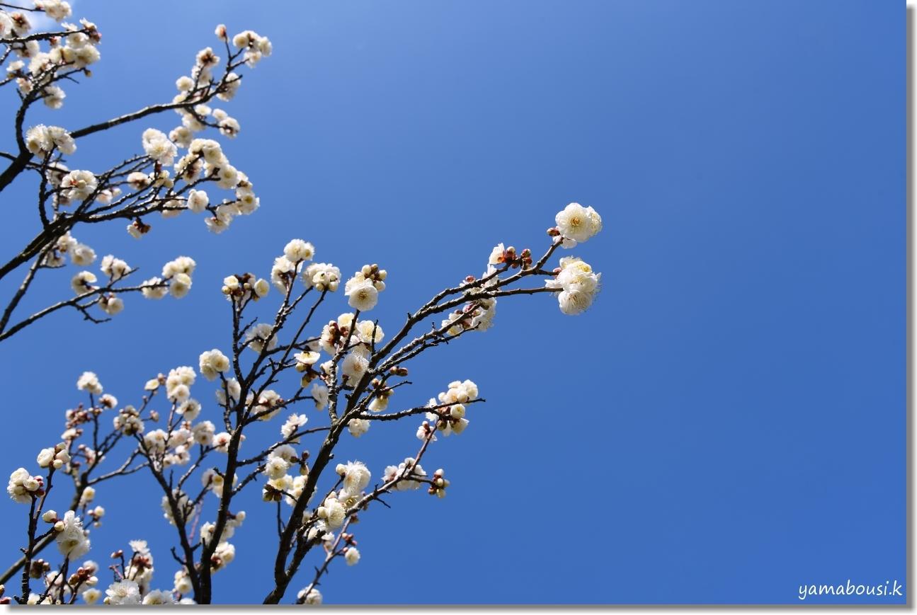 花畑園芸公園(2020)冬の青空 白梅の花 4