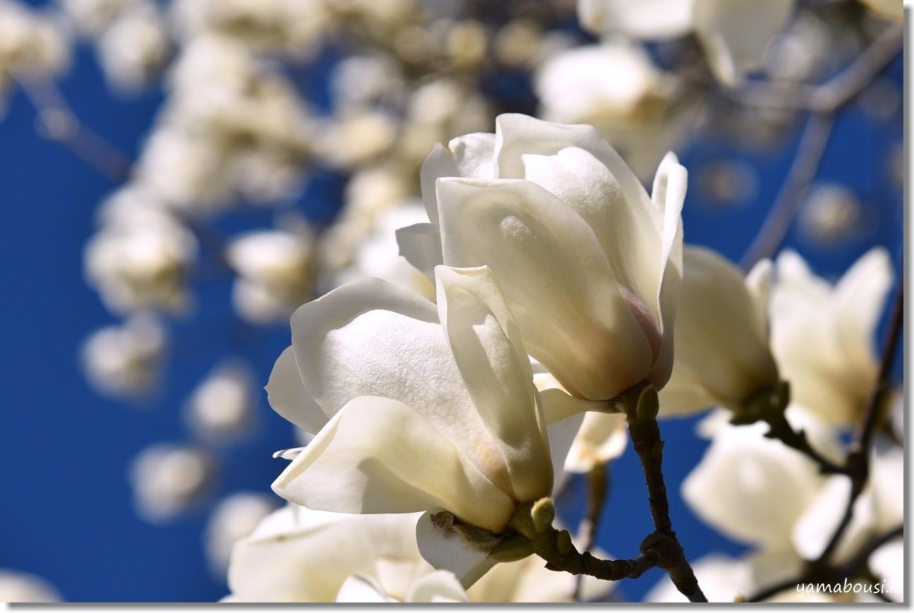 春を告げる純白のハクモクレン 3