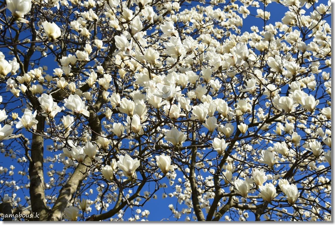 春を告げる純白のハクモクレン 4