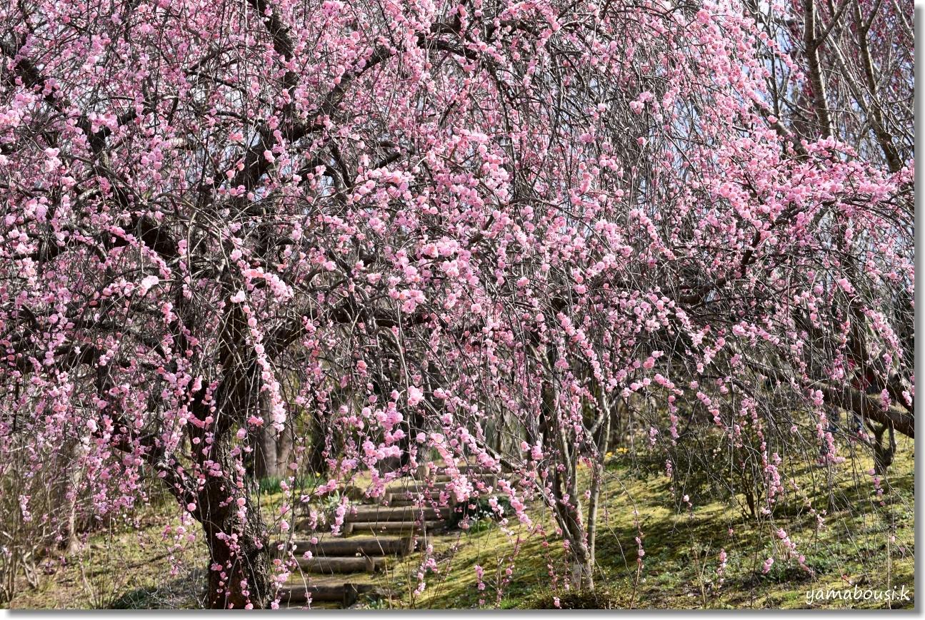 福智山ろく花公園 満開のシダレウメ 2