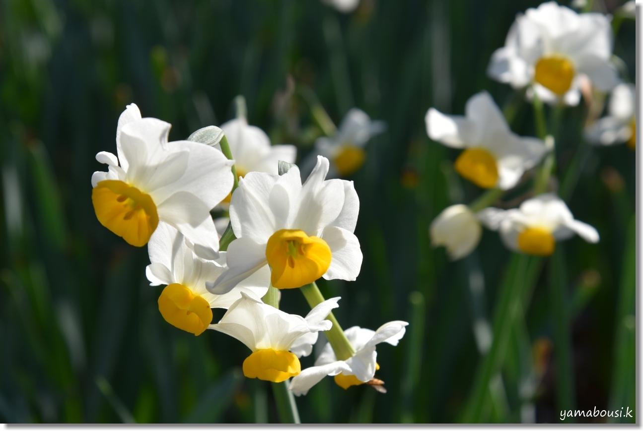 うみなか 日本スイセンとロウバイの花 3