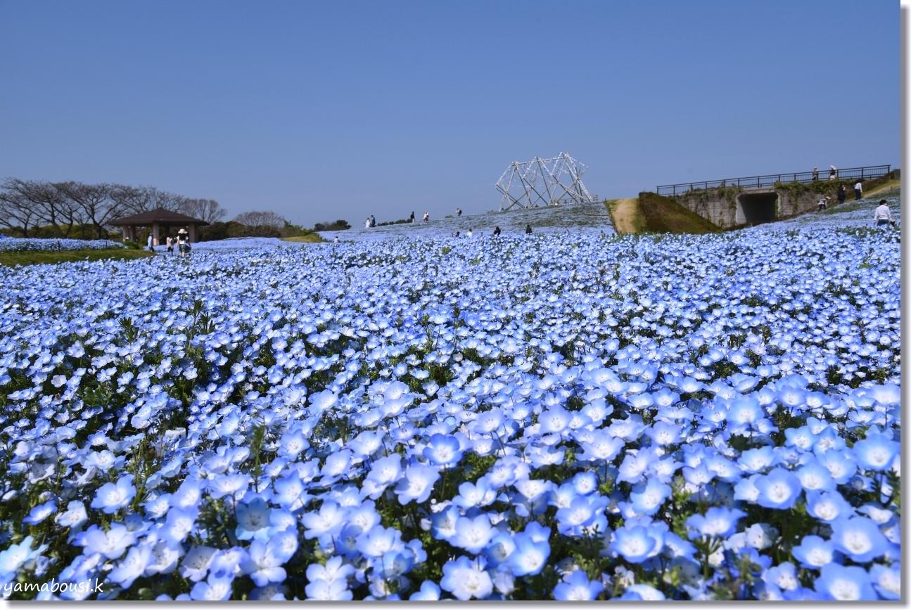 青空まで届け、ネモフィラの花
