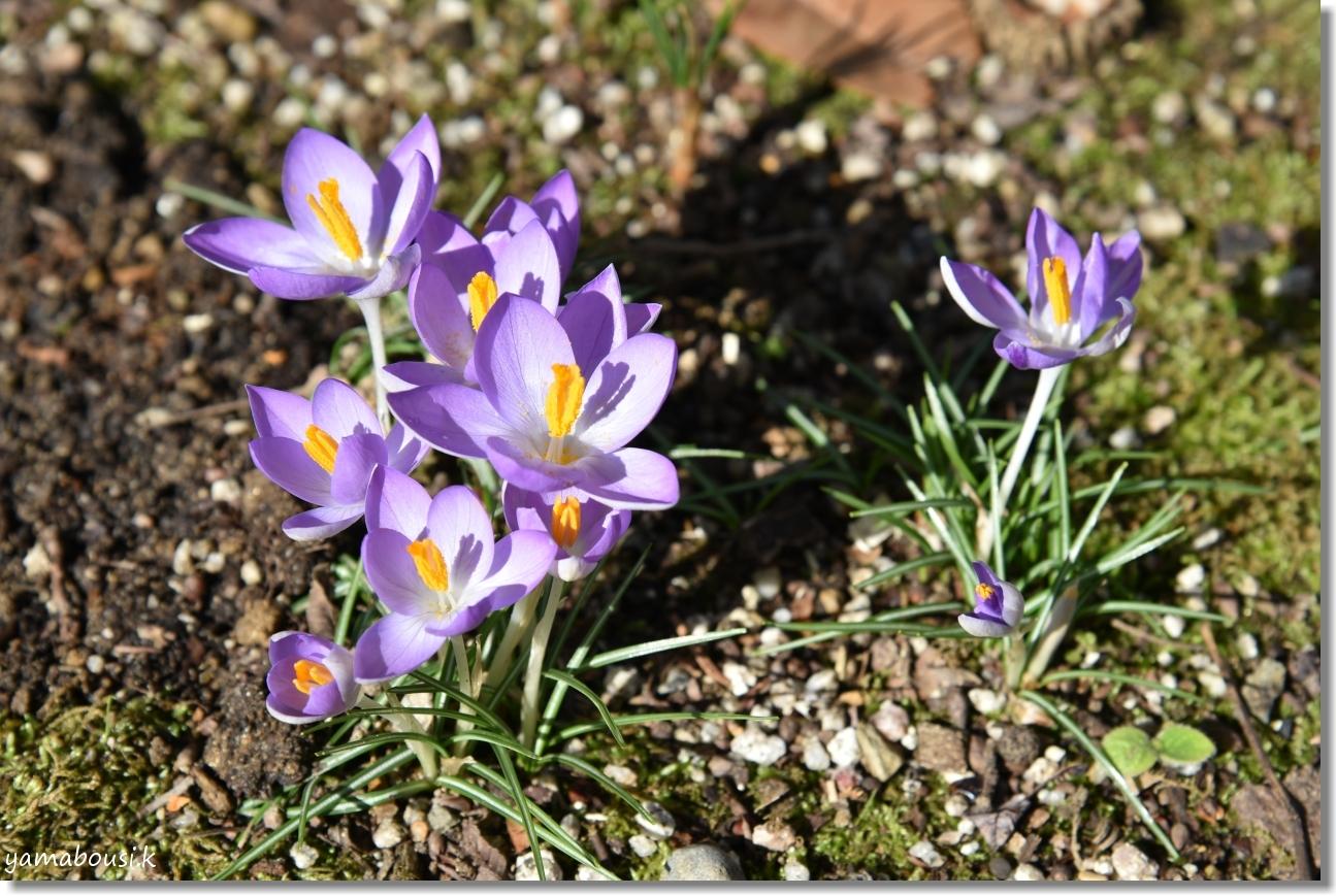 二月・如月(きさらぎ)早春花 クロッカス