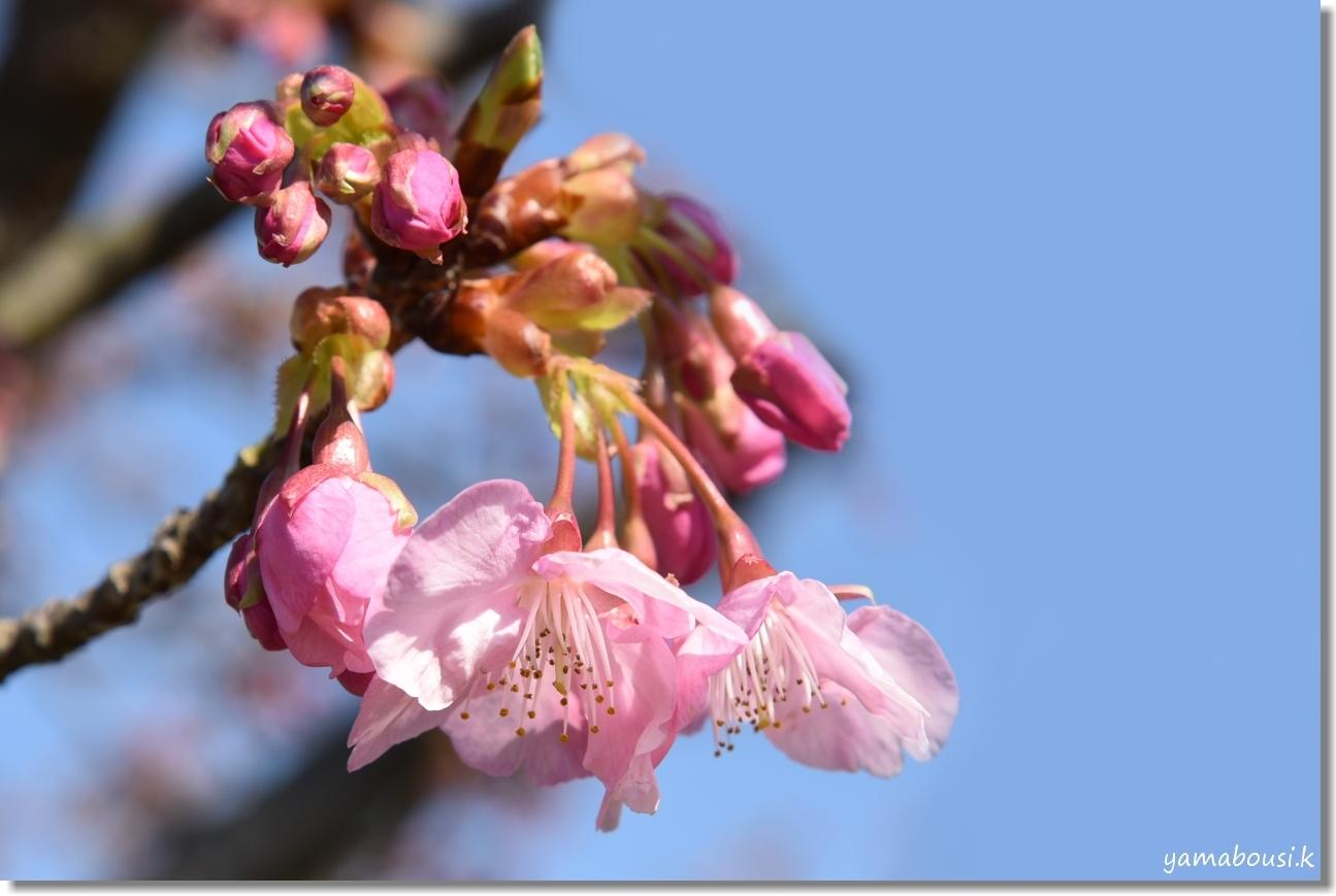 二月・如月(きさらぎ)早春花 河津桜 2