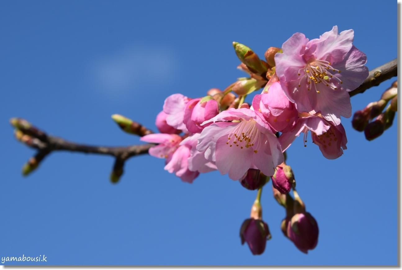 二月・如月(きさらぎ)早春花 河津桜 1