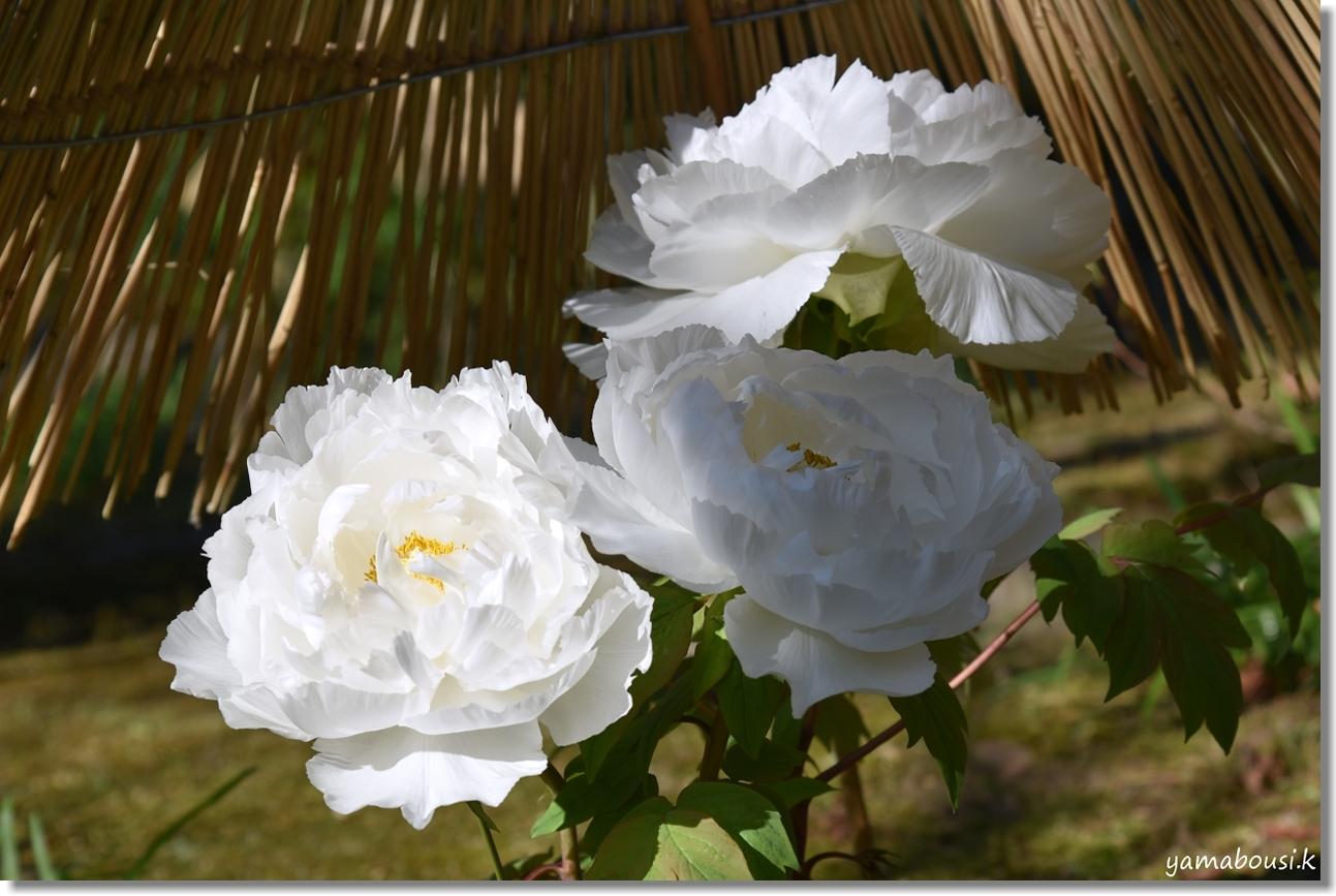 寒い冬 冬ぼたんの花 2